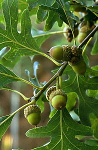 White oak with acorns {Quercus alba} Wisconsin, USA  -  Larry Michael