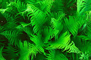 Lady fern fronds {Athyrium filix femina} Wisconsin, USA, North America  -  Larry Michael