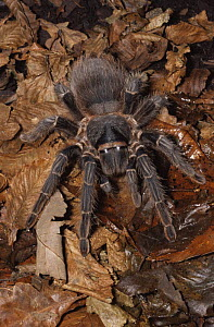 Female Brazilian salmon tarantula {Lasiodora parahybana} Brazil, South America, captive  -  Rod Williams