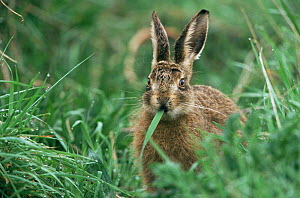 Young European hare leveret in grass {Lepus europaeus} Breckland, Norfolk UK  -  Terry Andrewartha