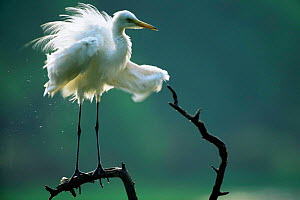 Intermediate egret drying wings {Egretta intermedia} Keoladeo Ghana NP, Rajasthan, India - Bernard Castelein