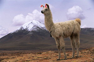 Domesticated Llama {Lama glama} with snow capped volcano om background,  Quetena River Valley, SW Bolivia - Pete Oxford
