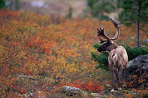 Male Caribou / Reindeer {Rangifer tarandus} northern Quebec, Canada, September  -  Jose Schell