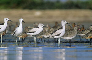 Crab plovers {Dromas ardeola} at water with Godwits in background, Barr Al Hikman, Oman  -  Hanne & Jens Eriksen