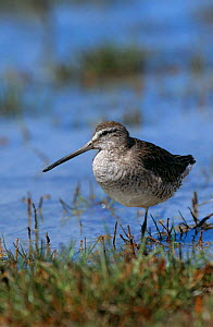Short billed dowitcher on one leg {Limnodromus griseus} Fort Myers Beach, Florida, USA - George McCarthy