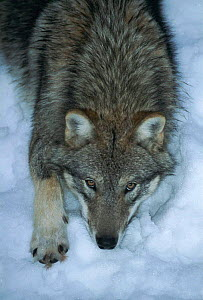 Grey wolf in snow {Canis lupus}  -  Konstantin Mikhailov