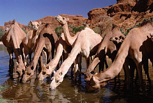 Camels drinking at oasis, Chad, North Africa  -  Doug Allan