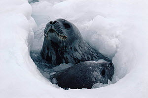 Weddell seal with pup surfacing at breathing hole in ice {Leptonychotes weddelli} Antarctica  -  Doug Allan