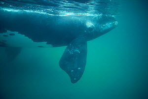 Southern right whale underwater {Balaena glacialis australis} off Peninsula Valdes, Argentina - Doug Allan