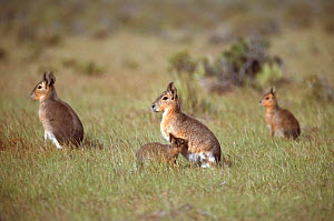 Patagonian cavies / Mara suckling young {Dolichotis patagonum}, Argentina, South America - Pete Oxford