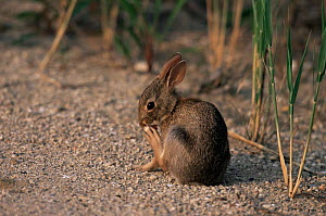 Eastern cottontail rabbit scratching {Sylvalegus floridanus} New Jersey, USA  -  Doug Wechsler