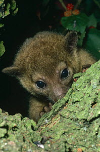 Young female Kinkajou portrait {Potos flavus} captive, found in South America - Rod Williams