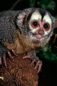 Douroucouli / Night monkey {Aotus trivirgatus} captive, from Central and South America - Rod Williams