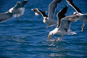 Greater black backed gulls feeding on bycatch {Larus marinus} Norway, Europe  -  Michael W. Richards