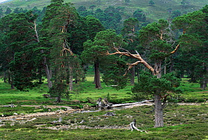 Ancient coniferous forest with Scots Pine Trees. Mare Lodge, Highlands, Scotland, UK.  -  Flip de Nooyer