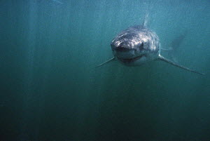 Great white shark {Carcharodon carcharias} Dyer island, South Africa  -  Peter Scoones