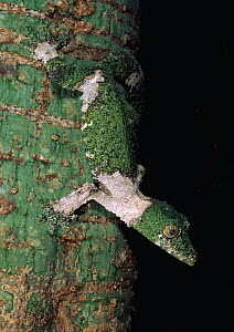 Leaf tailed gecko camouflaged on tree trunk {Uroplatus sikorae} Madagascar - Pete Oxford