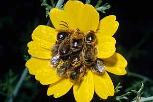 Male bees {Eucera sp} at communal roost in flower,  Israel  -  PREMAPHOTOS