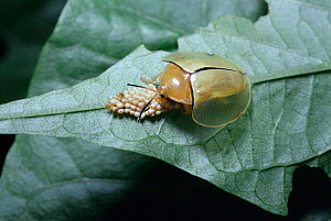 Tortoise beetle female guarding her eggs {Acromis sparsa} Brazil tropical rainforest  -  PREMAPHOTOS