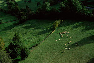 Herd of Merino sheep with shepherd, Pyrenees, Huesca, Spain  -  Jose B. Ruiz