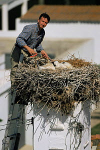 Researcher tagging White stork chicks at nest {Ciconia ciconia} Spain  -  John Cancalosi