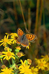 Small copper butterfly with torn wing, possibly from bird attack, {Lycaena phlaeas} Sussex, UK. On Ragwort.  -  George McCarthy