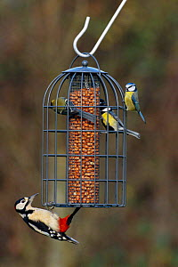 Great spotted woodpecker {Dendrocopus major} + Blue tits on squirrel proof garden feeder, UK - DAVID TIPLING