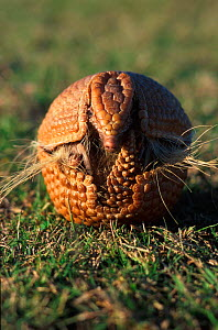 Three banded armadillo rolls up in defensive ball {Tolypeutes tricinctus}  -  Mark Payne-Gill