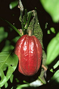 Cocoa pod growing on tree {Theobroma cacao} - Rob Cousins