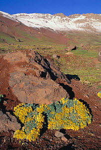 Central Andes landscape with Nasturtium plants {Tropaeolum polyphyllum} growing at 4200metres, ~South America - Daniel Gomez