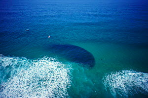 Shoal of Sardines from the air {Sardina pilchardus} off  Natal, South Africa  -  Michael Pitts