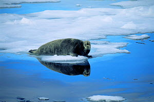 Bearded seal on ice {Erignathus barbatus} Svalbard, Norway north coast - Hanne & Jens Eriksen
