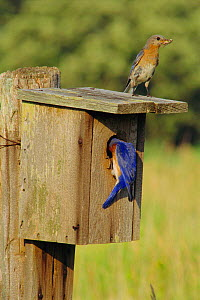 Eastern bluebirds with insect prey at nest box {Sialia sialis} USA - Larry Michael