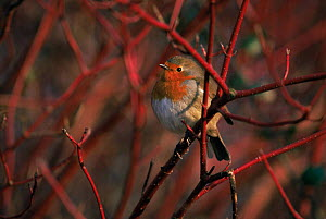 Robin Erithacus rubecula} perched in Dogwood, Slimbridge, Gloucestershire, UK  -  Nigel Bean