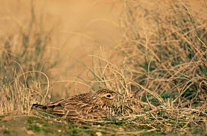 Skylark incubating eggs in nest in ground {ALauda arvensis} Europe - Jose Luis GOMEZ de FRANCISCO