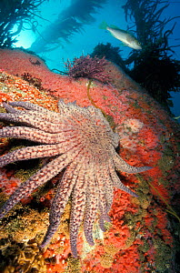 Sunflower seastar on coral reef {Pycnopodia helianthoides} California NOT FOR SALE IN USA - Brandon Cole