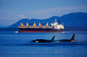Killer whales near oil tanker {Orcinus orca} San Juan Islands, Washington, USA,  NOT FOR SALE IN USA - Brandon Cole