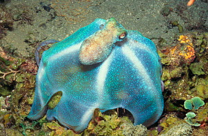 Caribbean reef octopus hunting at night {Octopus briareus} Dominica, Caribbean NOT FOR SALE IN USA - Brandon Cole