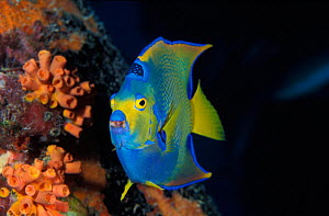 Queen angelfish portrait {Holacanthus ciliaris} Bonaire, Caribbean NOT FOR SALE IN USA  -  Brandon Cole