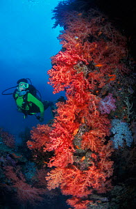 Scuba diver looking at coral, Fiji, South Pacific (model released)  -  Brandon Cole