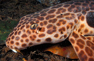 Epaulette shark on sea bed {Hemiscylllium ocellatum} Milne Bay, Papua New Guinea, Indo Pacific; also known as Carpet or Longtailed shark NOT FOR SALE IN USA  -  Brandon Cole