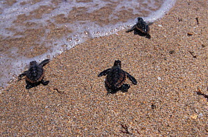 Newly hatched Loggerhead turtles head for the sea {Caretta caretta} Florida. NOT FOR SALE IN USA - Brandon Cole
