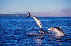 Group of Pacific white sided dolphins playing at sea surface {Lagenorhynchus obliquidens} British Columbia, Canada. NOT FOR SALE IN USA  -  Brandon Cole