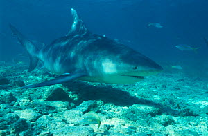 Portrait of Bull shark (also known as Zambezi shark) on seabed {Carcharhinus leucas} Bahamas Caribbean NOT FOR SALE IN USA  -  Brandon Cole