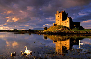 Swans on lake beside Dunguaire Castle, County Galway, Southern Ireland  -  David Noton