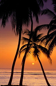 Sunset beneath palm trees, Pigeon Point, Tobago, Caribbean  -  David Noton