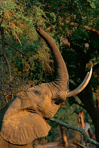 African elephant reaching upo with trunk to feed on seed pods.  Manu pools NP, Zimbabwe {Loxidonta africana} - Pete Oxford