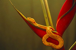 Eyelash viper {Bothrops schlegeli} on Heliconia,  Esmeraldas, Ecuador - Pete Oxford
