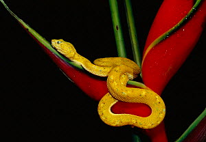 Eyelash viper {Bothrops schlegeli} on Heliconia Esmeraldas, Ecuador - Pete Oxford