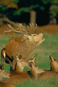 Red deer stag calling in rut {Cervus elaphus} with hinds nearby, Richmond Park, London, UK  -  David Kjaer